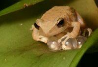 Listen a puertorrican frog:  Common coquí...