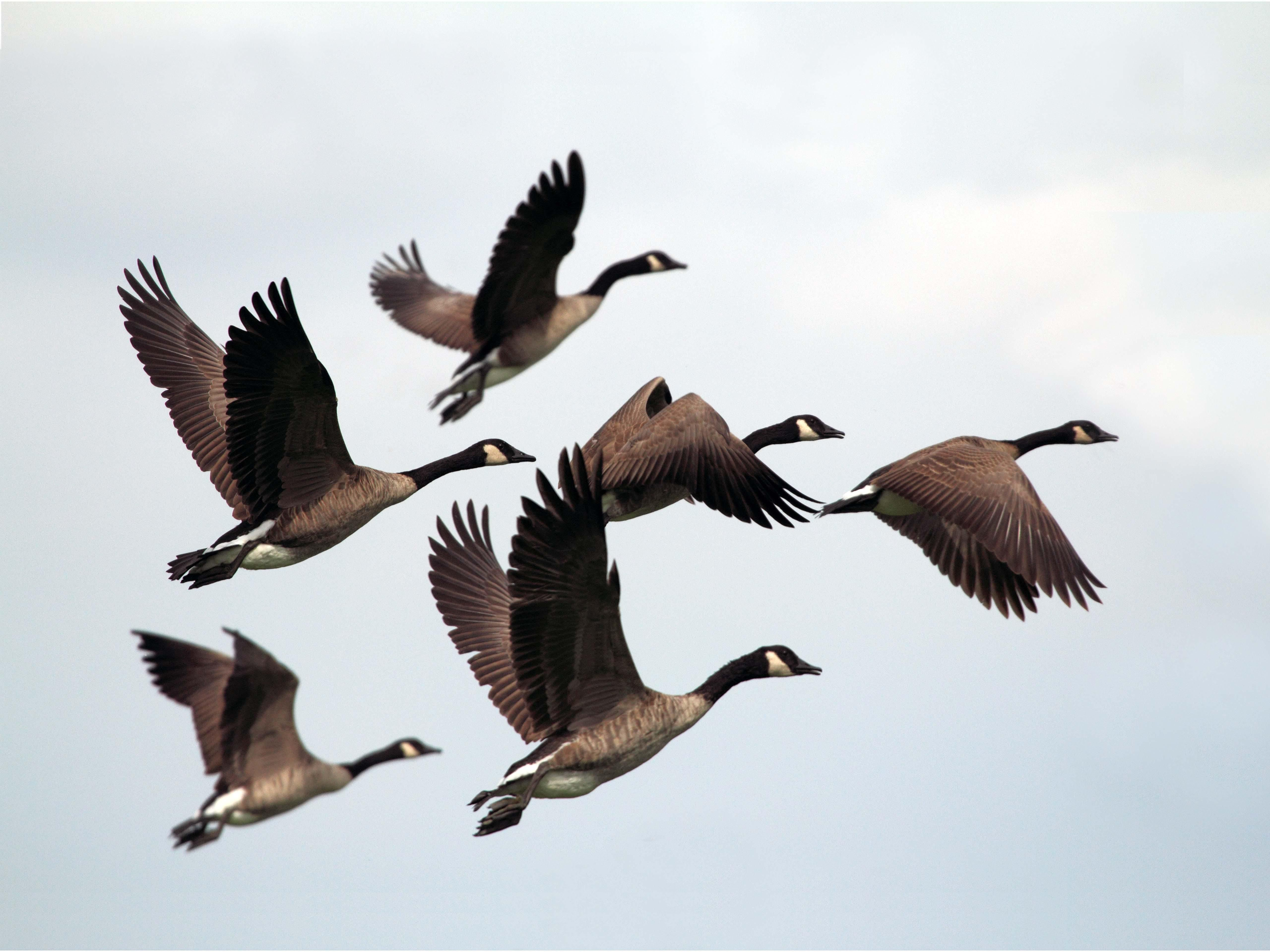 Geese Leaving [5120 3840] (With images) Bird pictures