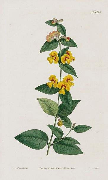 Curtis Botanical Magazine Australian Plants 1787