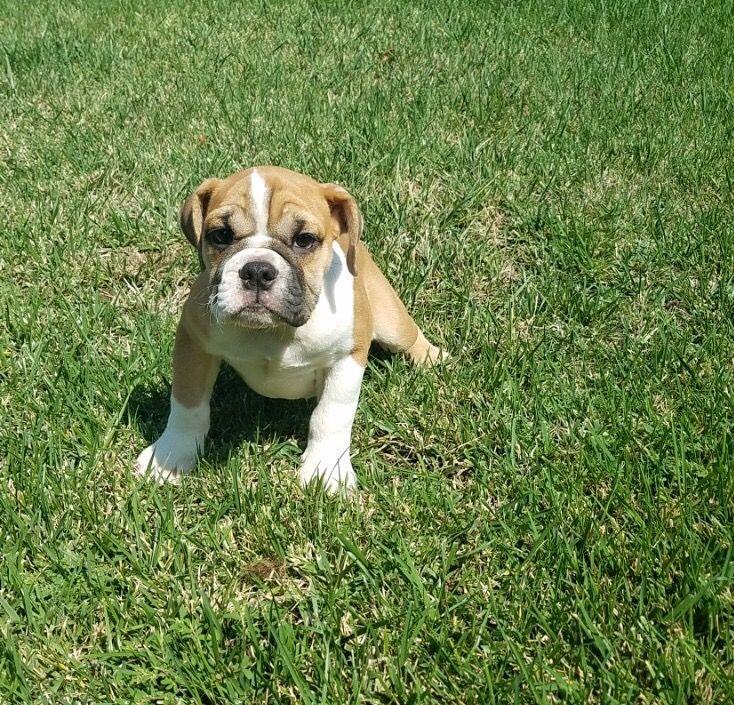 Bulldog Puppy For Sale In Los Angeles Ca Adn 44504 On