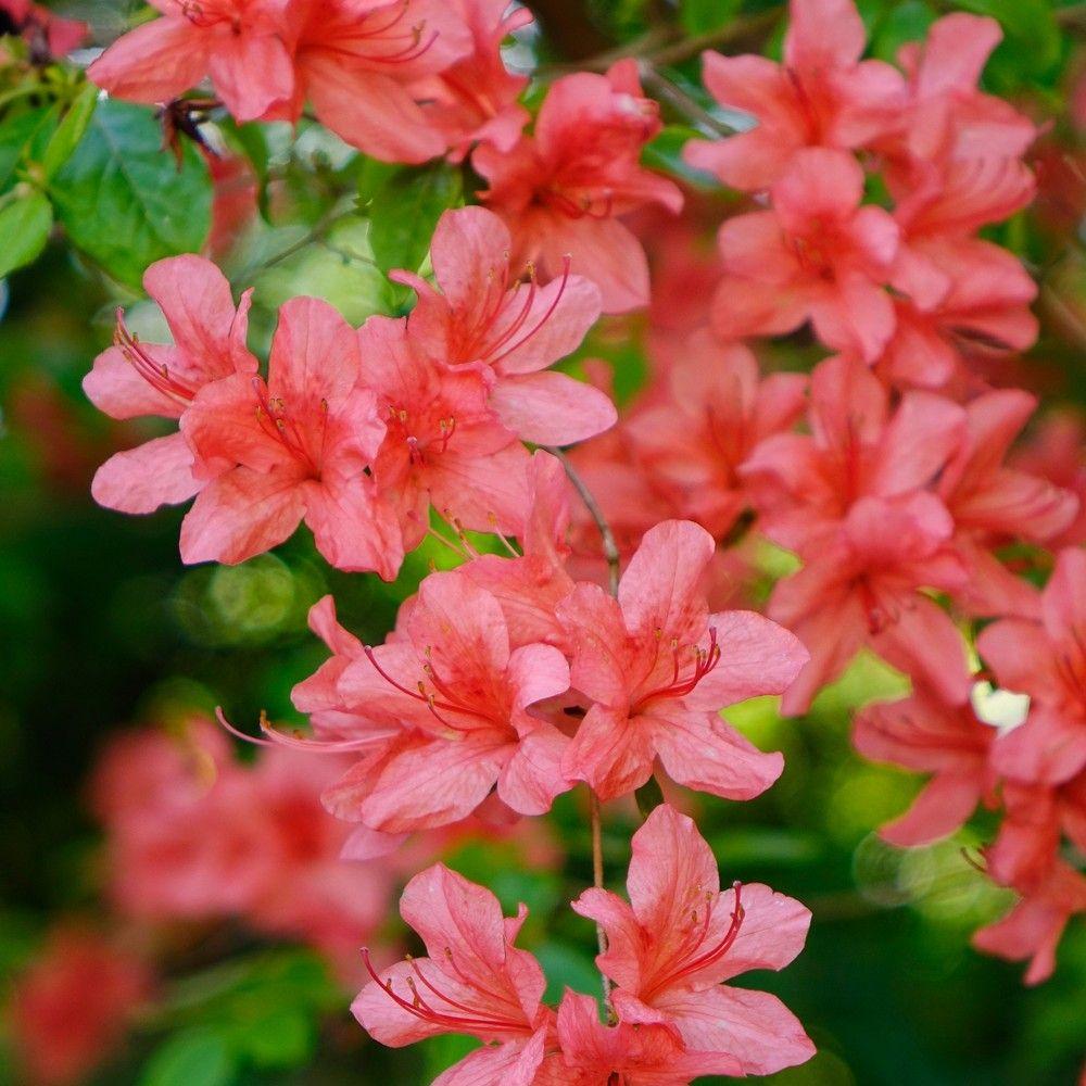 Azalea Flame Creeper 2 5qt U S D A Hardiness Zones 6 9 1pc National Plant Network Azaleas Hybrid Tea Roses Creepers