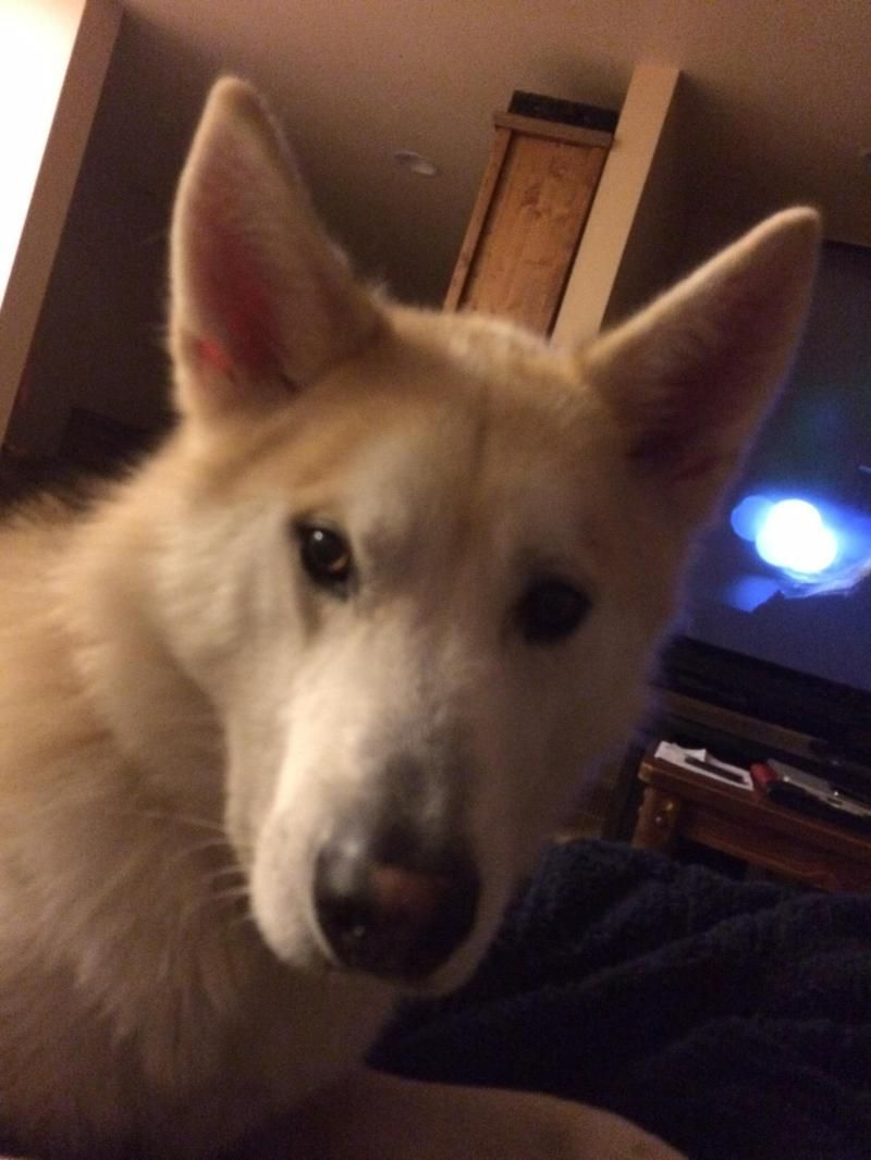 Adopt Hisroo On Petfinder Dog Search Shepherd Dog Mix Alaskan