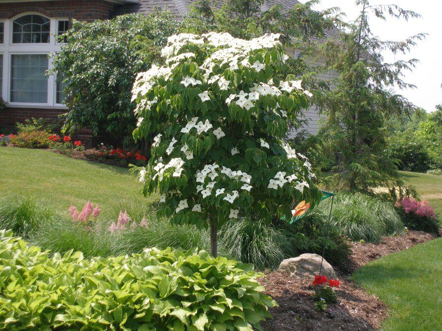 Flowering Dogwoods Dogwood trees, Landscape maintenance