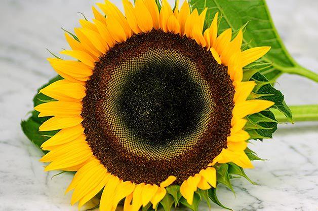 Top 10 Sunny Sunflower Varieties Girassol