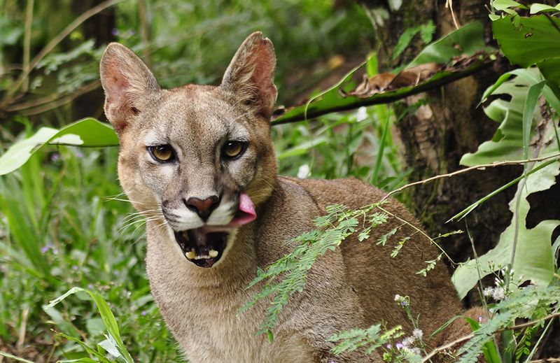 How One Cougar Can Plant 94,000 Seeds a Year | Atlas Obscura