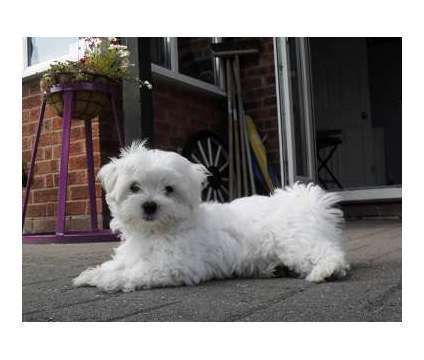 Kuytfvbhjk Maltese Puppies Available Is A Female Maltese For Sale
