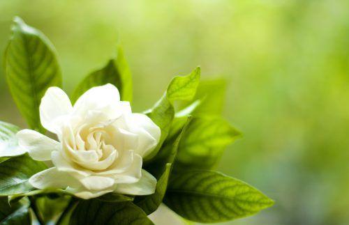 Flowers That Look Like Roses White Gardenia Flower Flower