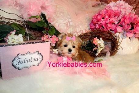 Morkies for Sale, Morkie, Morkie Puppies, Morkies in Florida