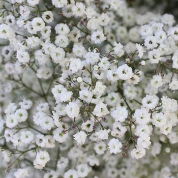 New Love Baby S Breath Flower Babys Breath Flowers Babys Breath Tiny White Flowers