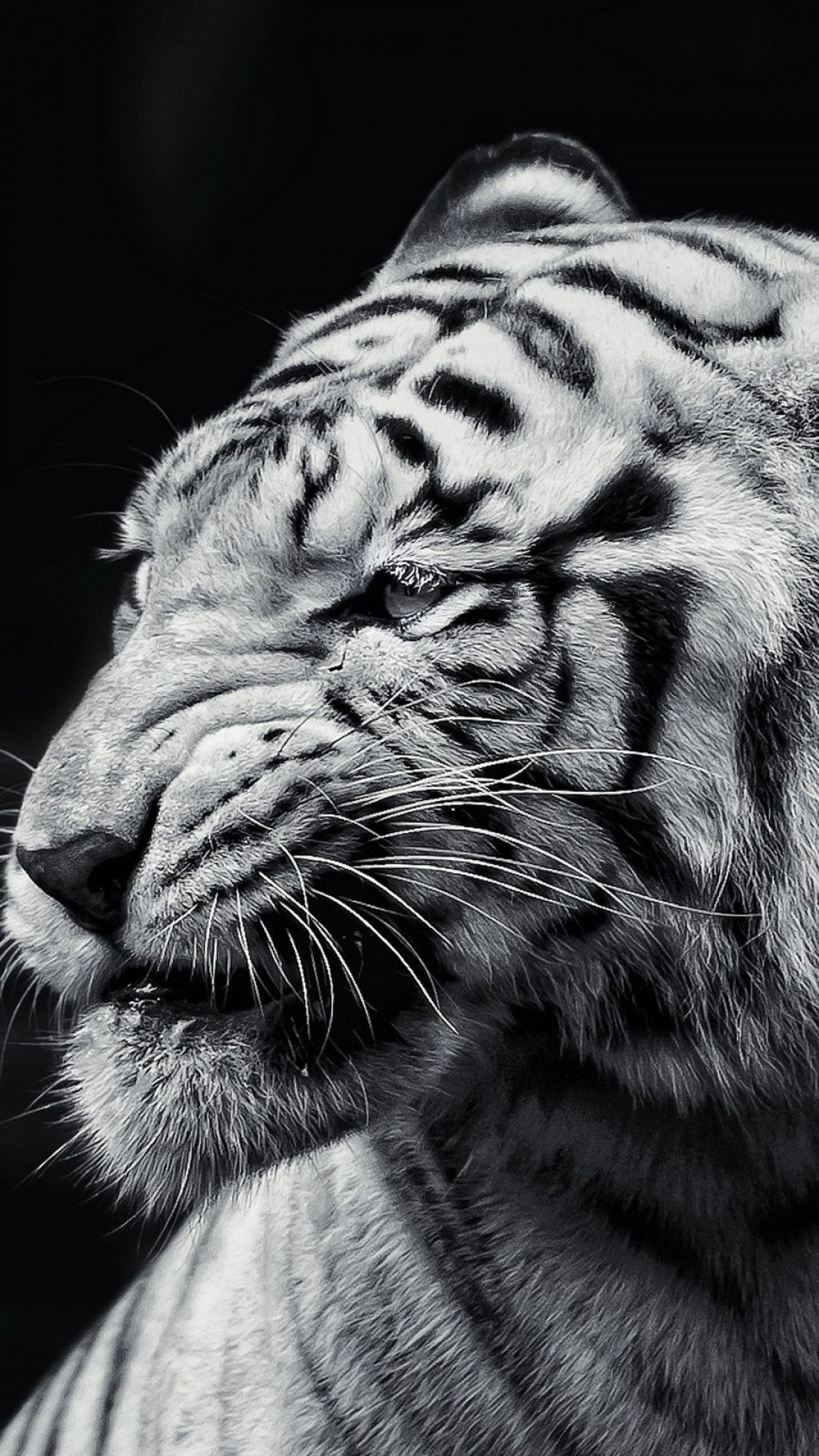 Black And White Tiger Android Background Black And White Tiger Android Background Black And White Tiger Andr In 2020 Tiger Wallpaper White Tiger Tiger Pictures
