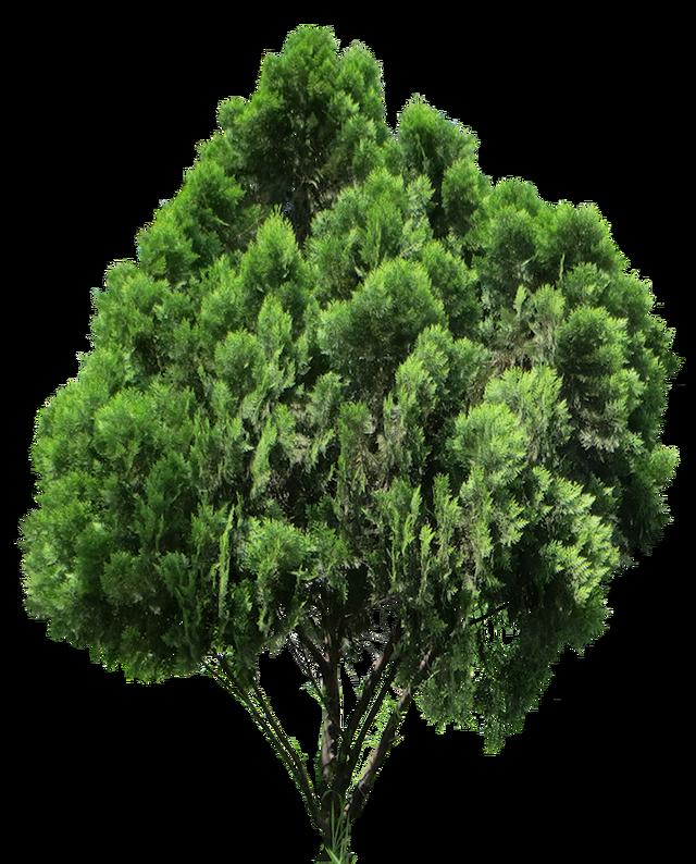 20 im genes de rbol png platycladus orientalis tree - Arboles y arbustos ...