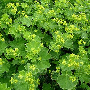Alchemilla Mollis also known as 'Ladies Mantle'. A superb edging plant for walkways. Use it in combination with purple foliage or flowers.