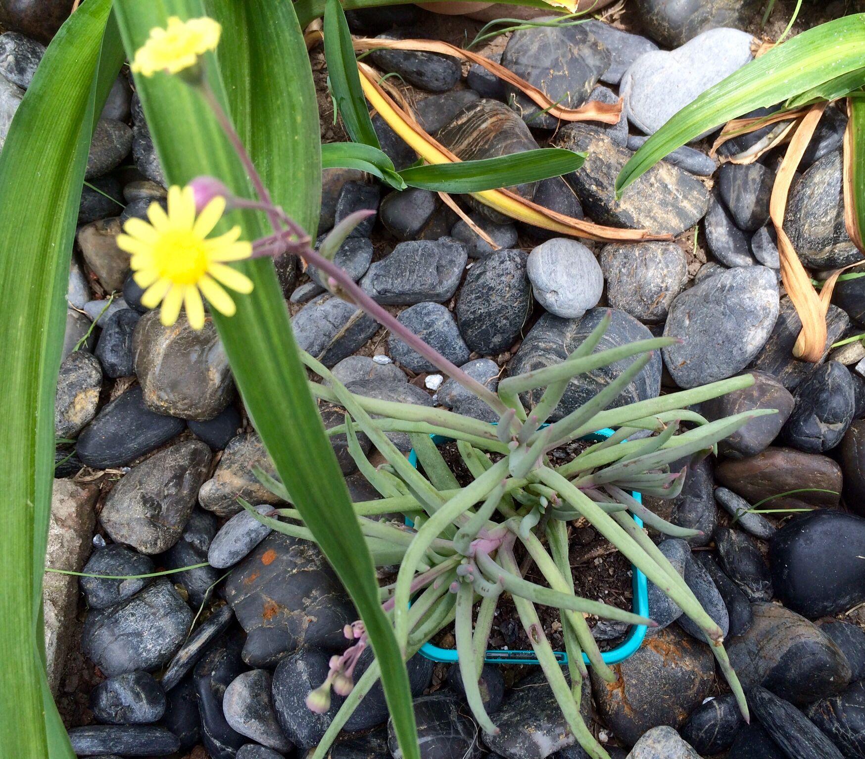Othonna carnosa has spirally arranged succulent leaves and grows to othonna carnosa has spirally arranged succulent leaves and grows to 20cm produces yellow flowers in mightylinksfo