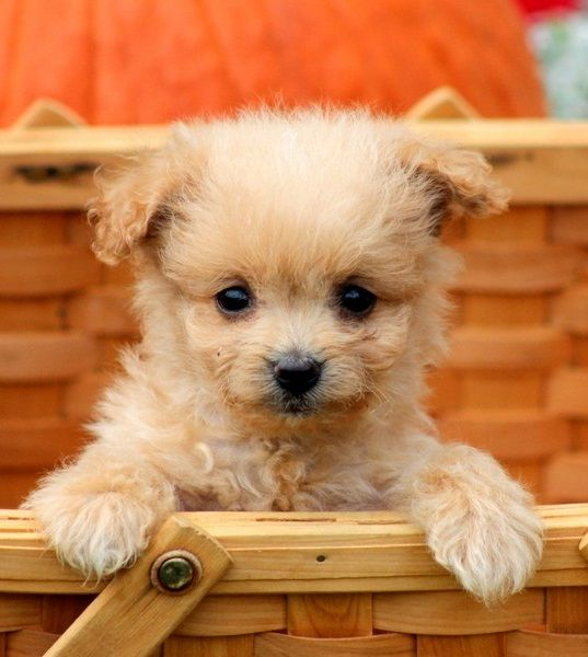 Pomapoo No Results Poodle Mix Puppies Poodle Mix Dogs Cute