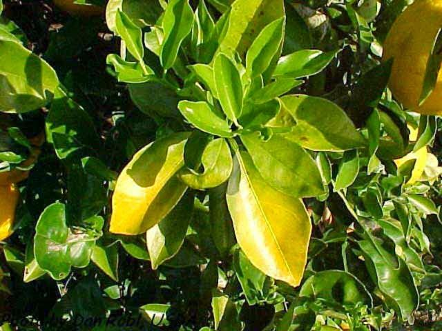 Why Are My Orange Tree Leaves Turning Yellow Citrus Trees Citrus Plant Plant Leaves Turning Yellow