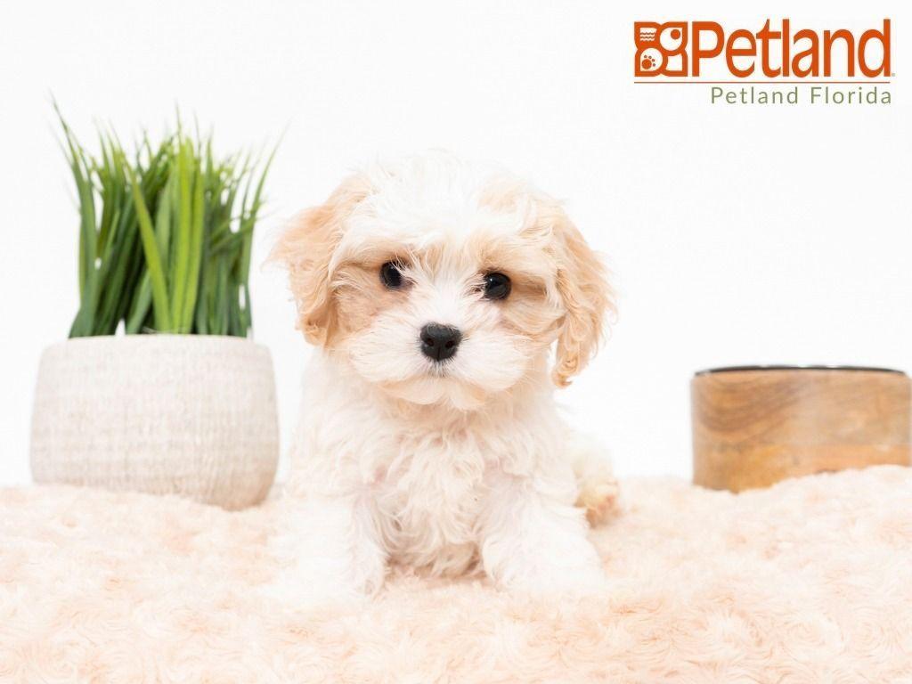 Puppies For Sale Cavachon Puppies Puppy Friends Cavachon