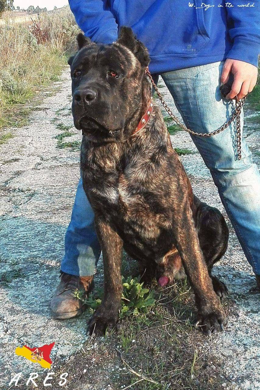 ARES 14 MONTHS FROM ITALY [CANE CORSO] Cane corso Cane