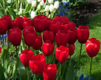 """5""""x7"""" Photograph of Red and White Tulips accented with Blue Hyacinths and matted in an 8""""x10"""" Mat, Mount Vernon Washington, Tulip Festival"""