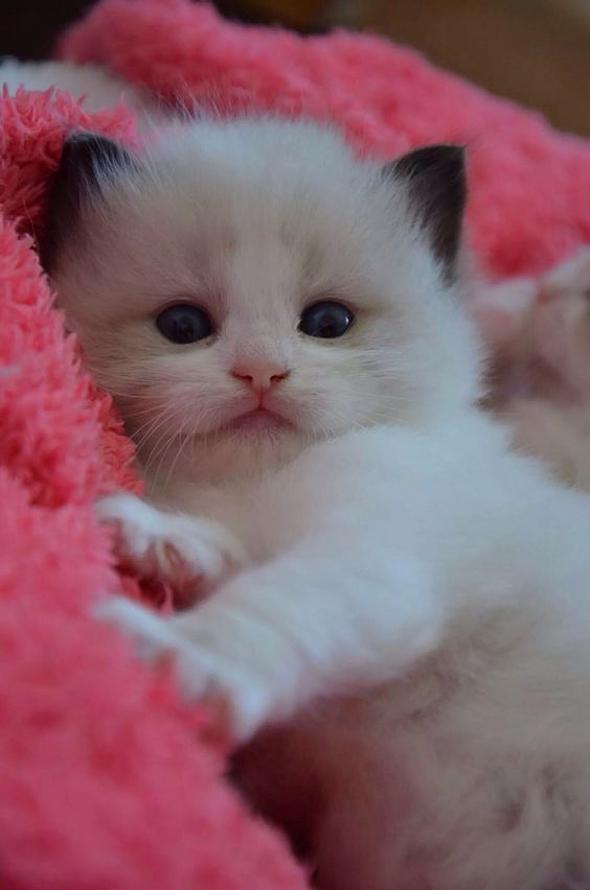 Favorito CUCCIOLO -a little mini kitten | sono GATTI vostri | Gattini QH26