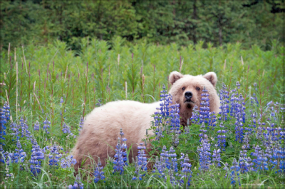 """Bear in Lupine Meadow. 16"""" x 24"""" canvas with 1.5"""" edge Photograph of an unusual white bear sitting in a lupine meadow in Alaska. Photo by Kathy Cochran. Available for online bidding Nov 9-12, 2013: http://chimpsnw.afrogs.org"""