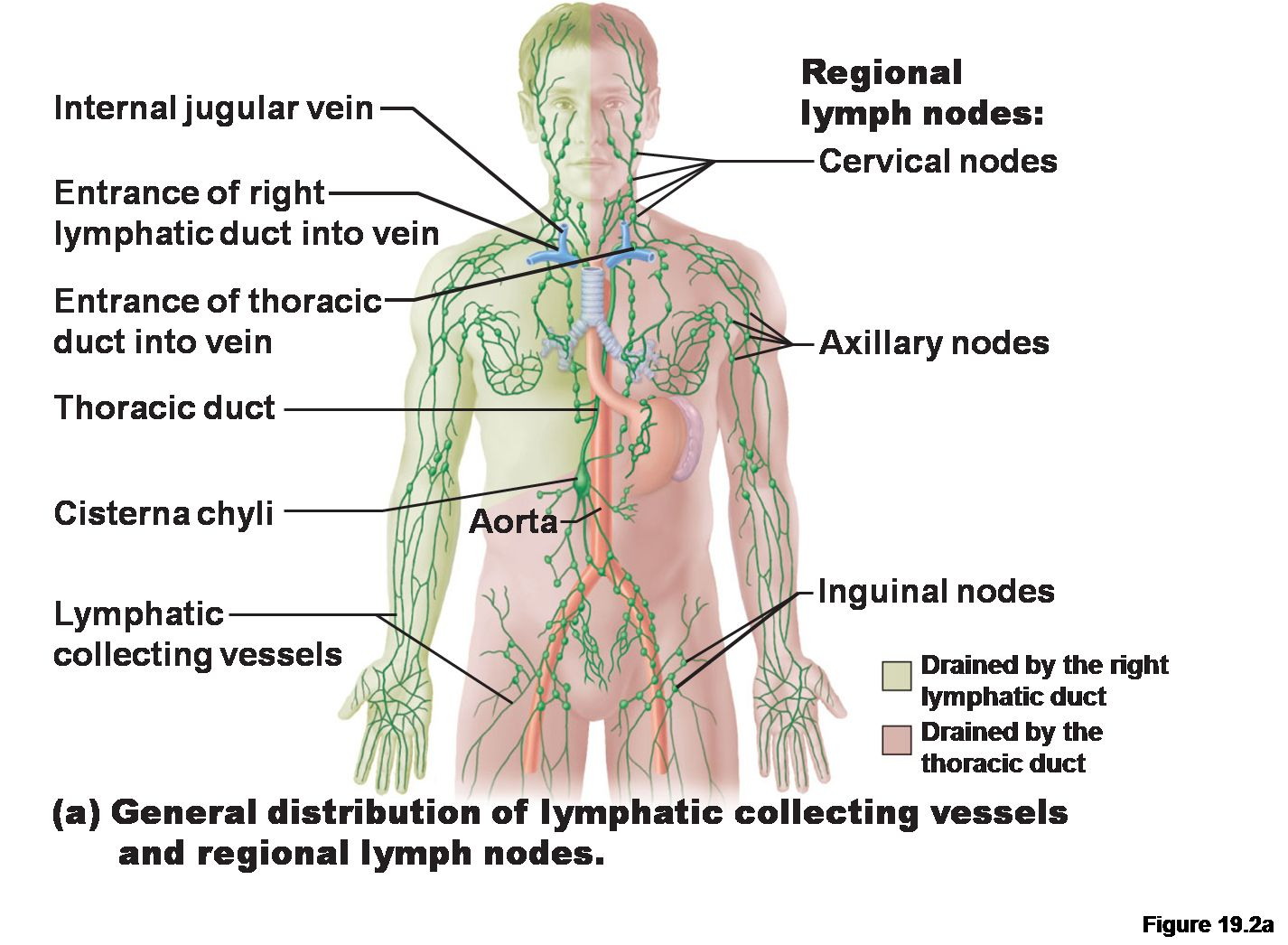 Labeled Diagram Of The Lymphatic System Koibana Info Lymphatic System Anatomy Lymphatic System Physiology Lymph Fluid