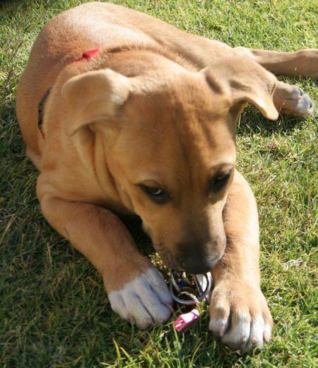Jack The Rhodesian Lab Mix Labrador Dog Pictures Labrador Dog Labrador