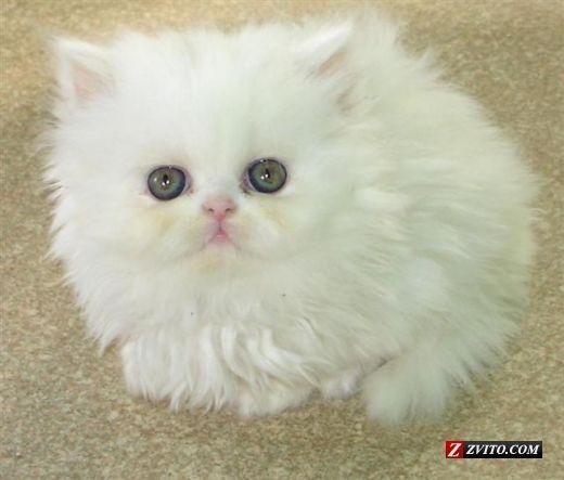 Baby Kittens For Free Persian Kittens For Sale Birmingham Animals Tabby White Male Milye Kotiki Kotyata Belye Koshki