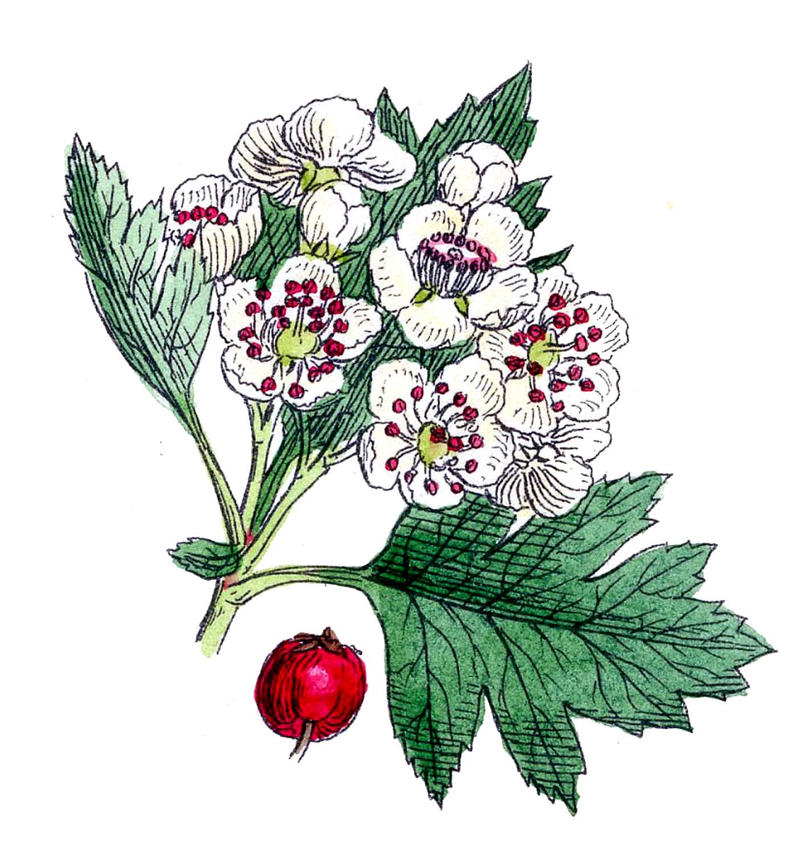 *The Graphics Fairy LLC*: Botanicals