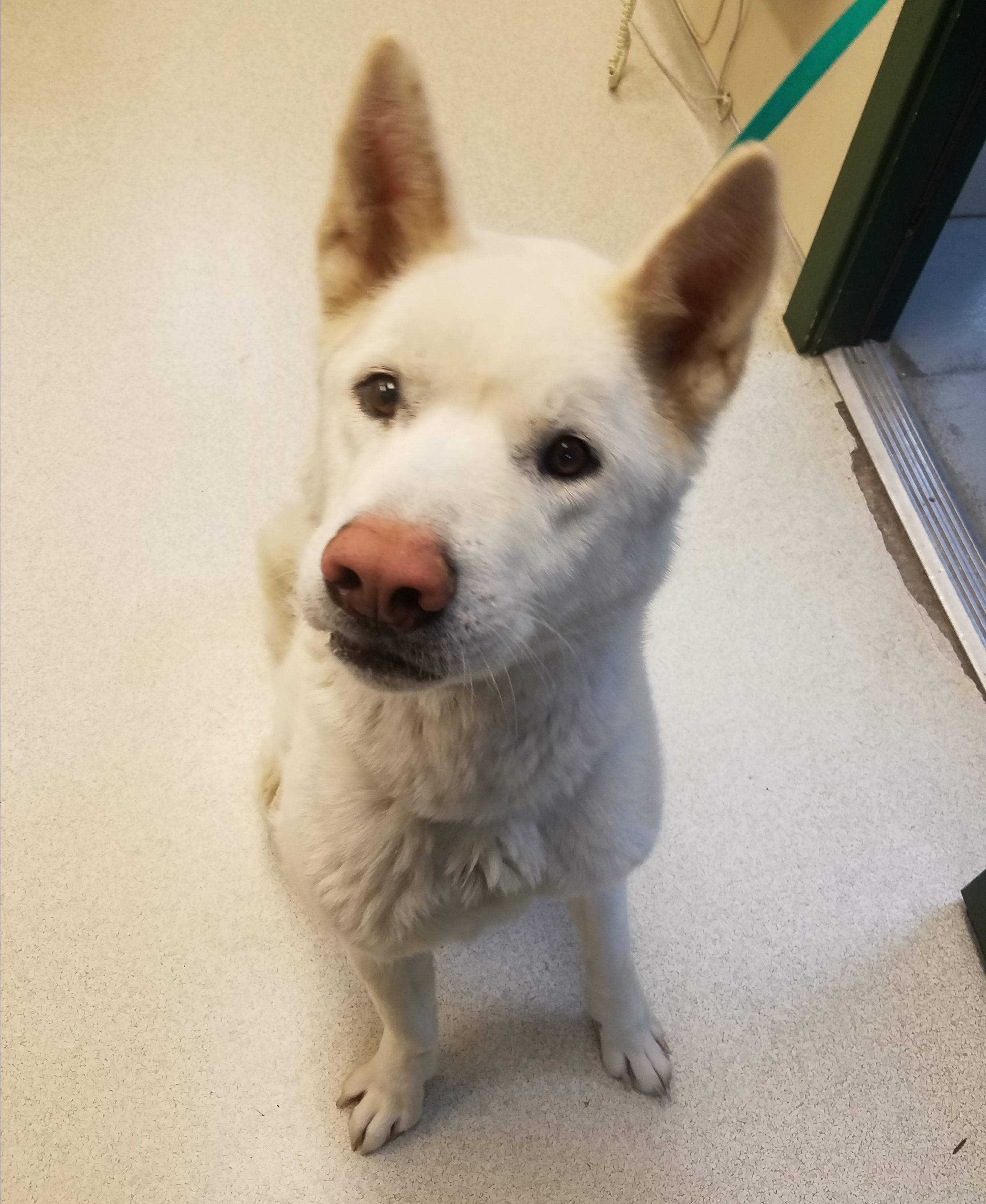 Akita Dog For Adoption In Santa Clarita Ca Adn 710952 On