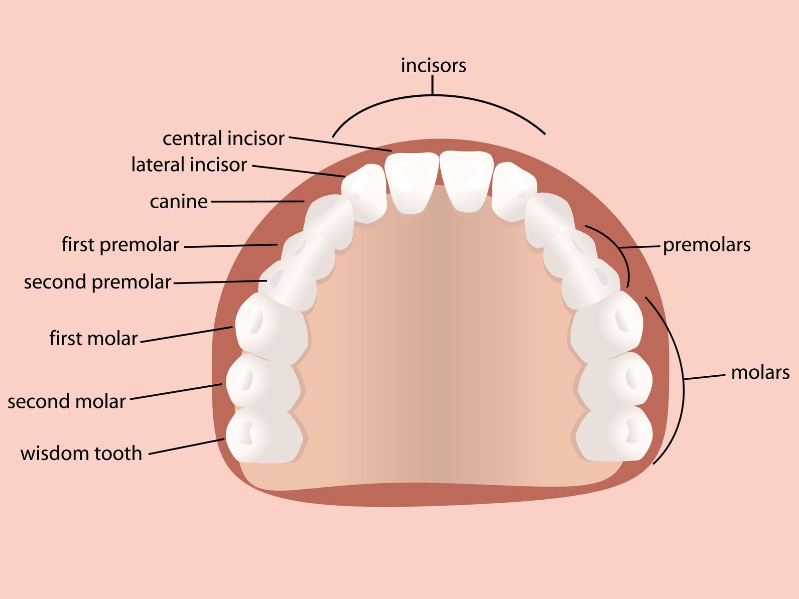 medium resolution of by the age of 18 the average adult has 32 teeth 16 teeth on top and 16 teeth on bottom each tooth in the mouth has a specific name and function