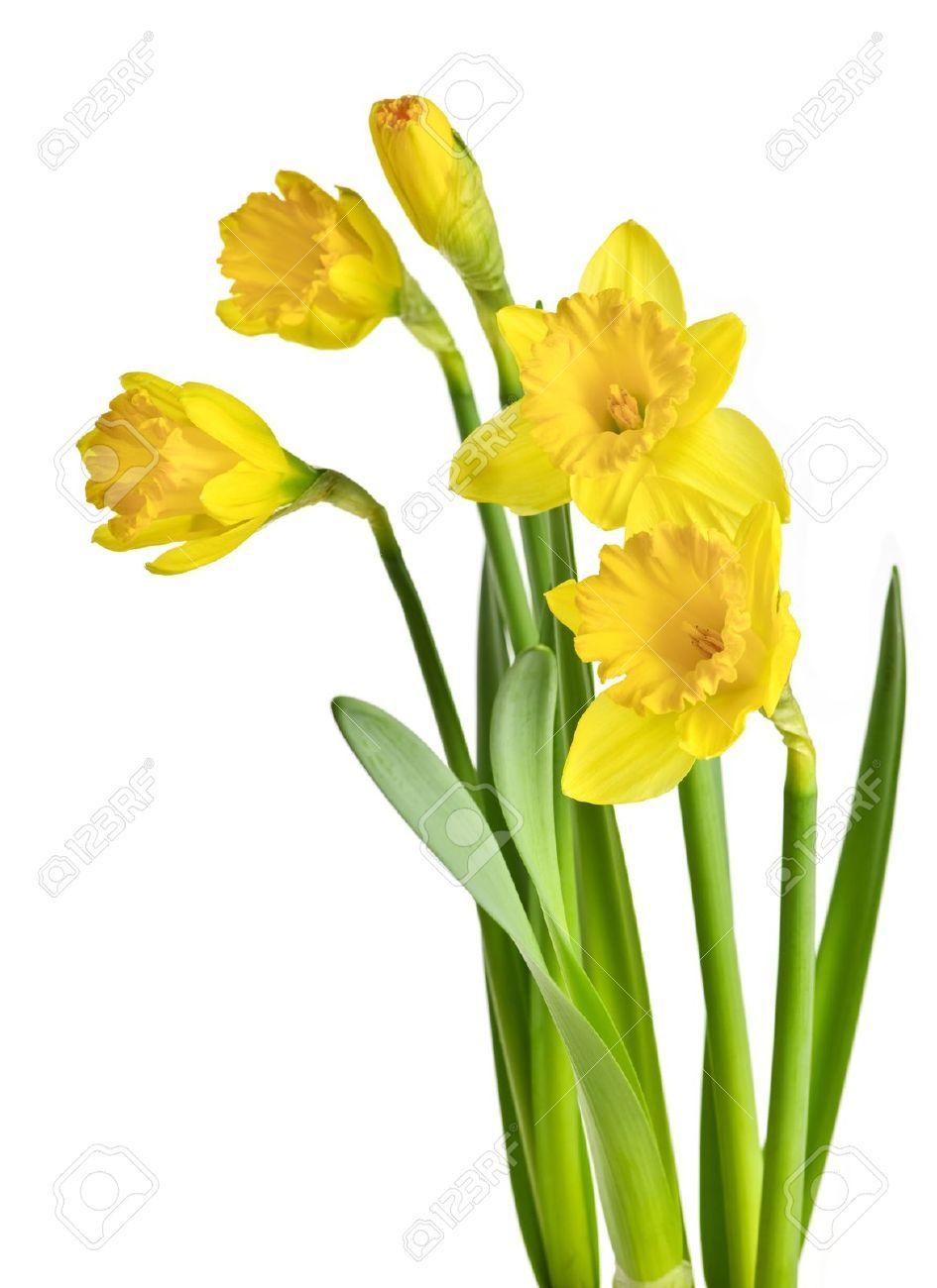 Vaizdo Rezultatas Pagal Uzklausa Daffodil Yellow Daffodils Daffodils Daffodil Flower