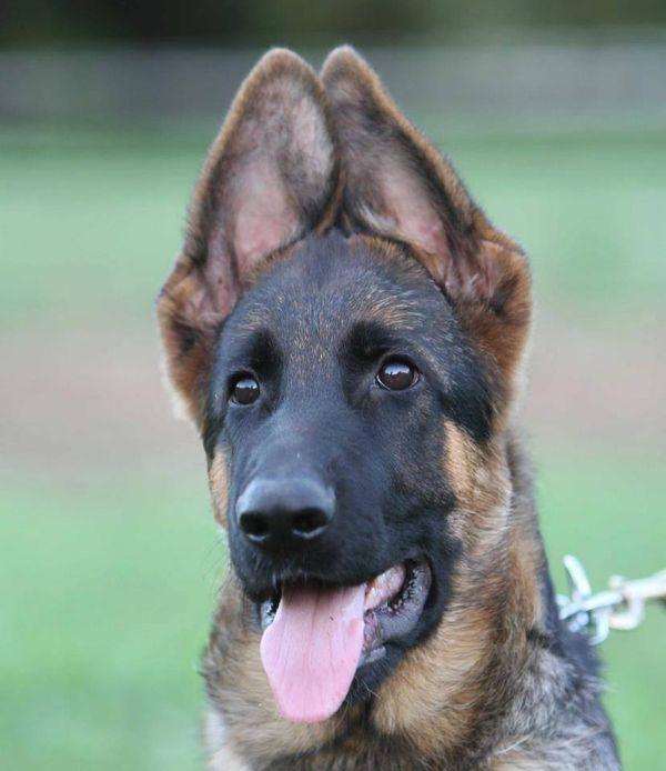 Gsd Puppy About German Shepherds Black German Shepherd Dog