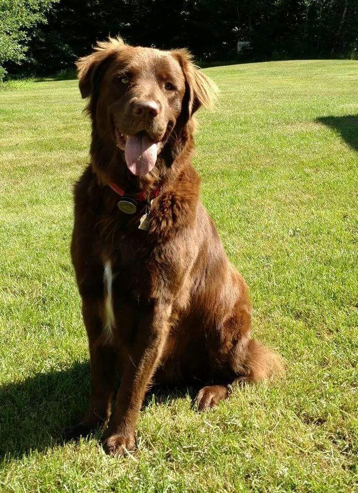 Not Otto Goldador Golden Retriever Labrador Mix Golden