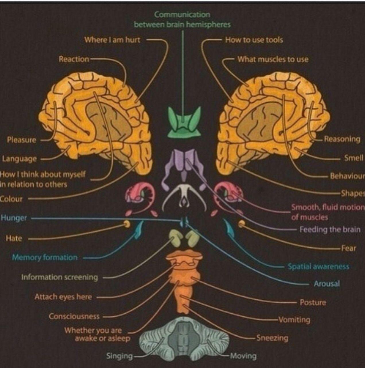 How the brain works | Psychology | Pinterest | Brain, Psychology ...