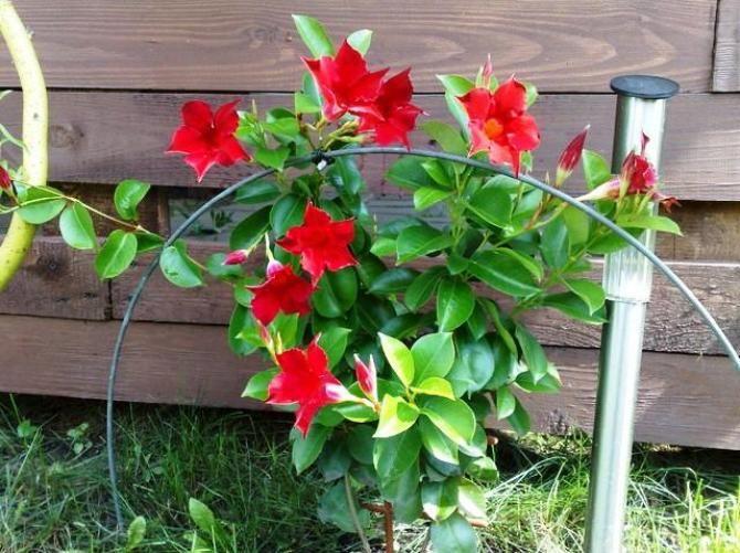 Sundaville Uprawa I Pielegnacja Flowers Garden Balcony Garden