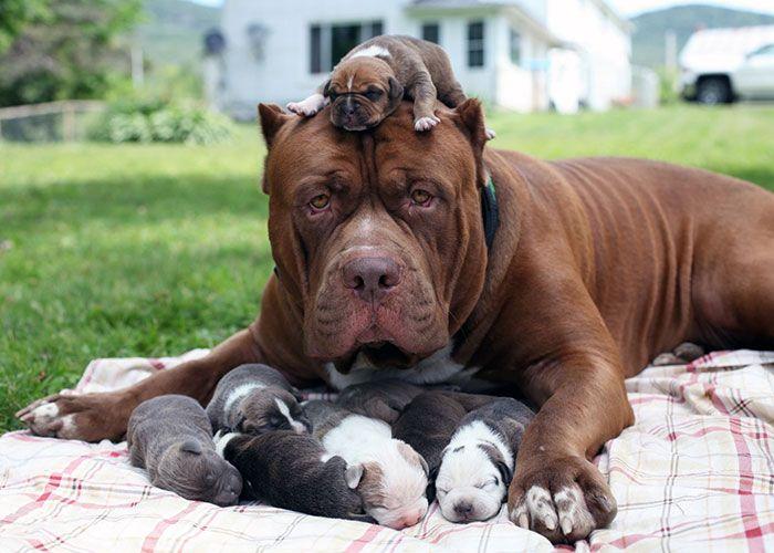 Hulk, El Pitbull Más Grande Del Mundo, Es Padre De 8 Cachorros Que Valen Medio Millón De Dólares
