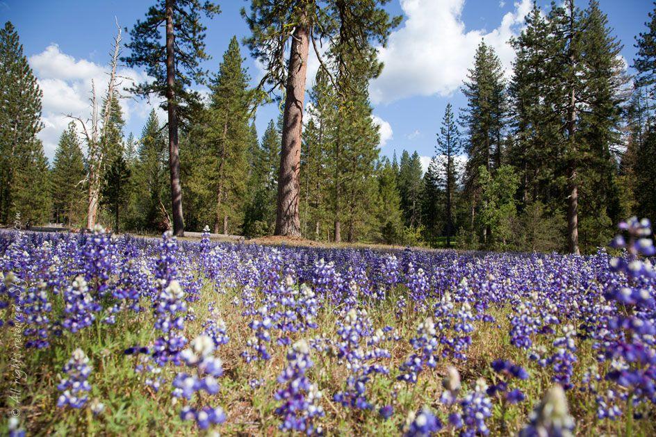 In A Field Of Flowers Yosemite