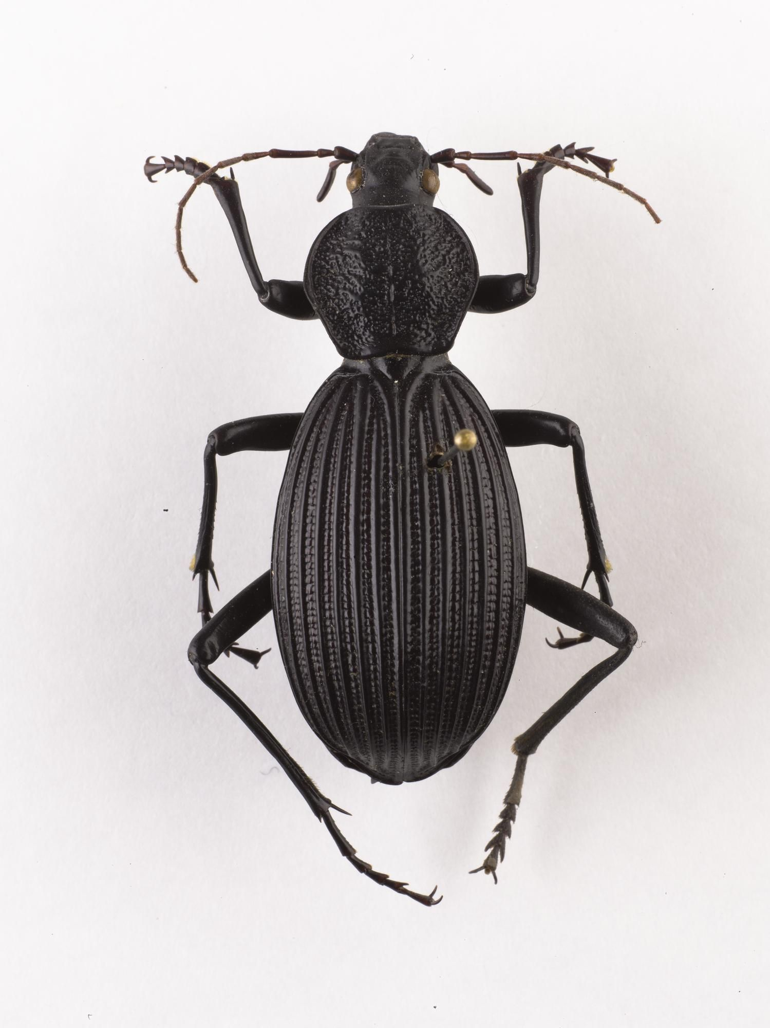 Tefflus meyerlei ground beetle dried specimen west africa beautiful bugs buycottarizona