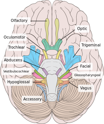 Brain human normal inferior view with labels en 2 cranial nerves brain human normal inferior view with labels en 2 cranial nerves wikipedia ccuart Image collections