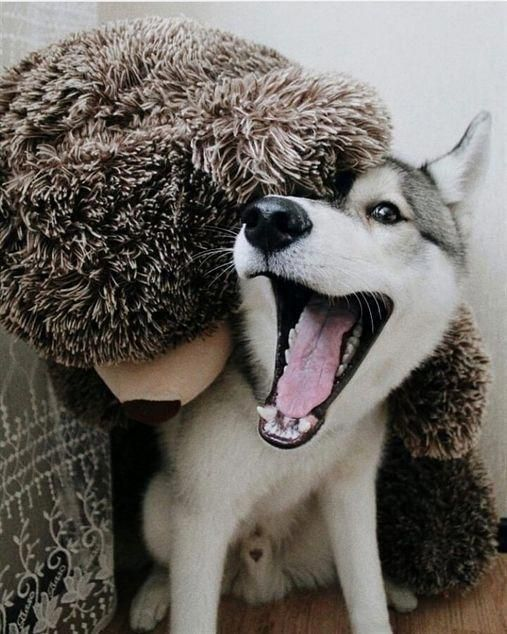 """Obtain great suggestions on """"siberian huskies"""". They are actually readily available for you on our site."""