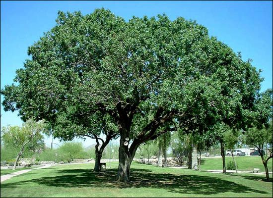 Chinese Pistache Trees For Fast Growing Shade