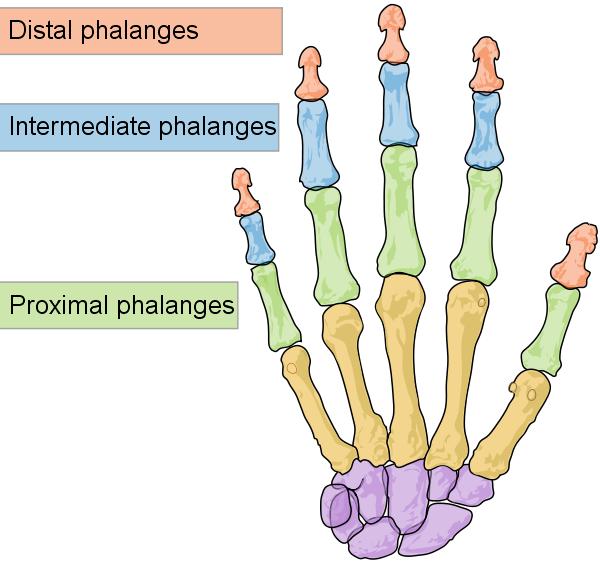 Phalanges Finger Bones | Training - Work | Pinterest | Hand bone ...