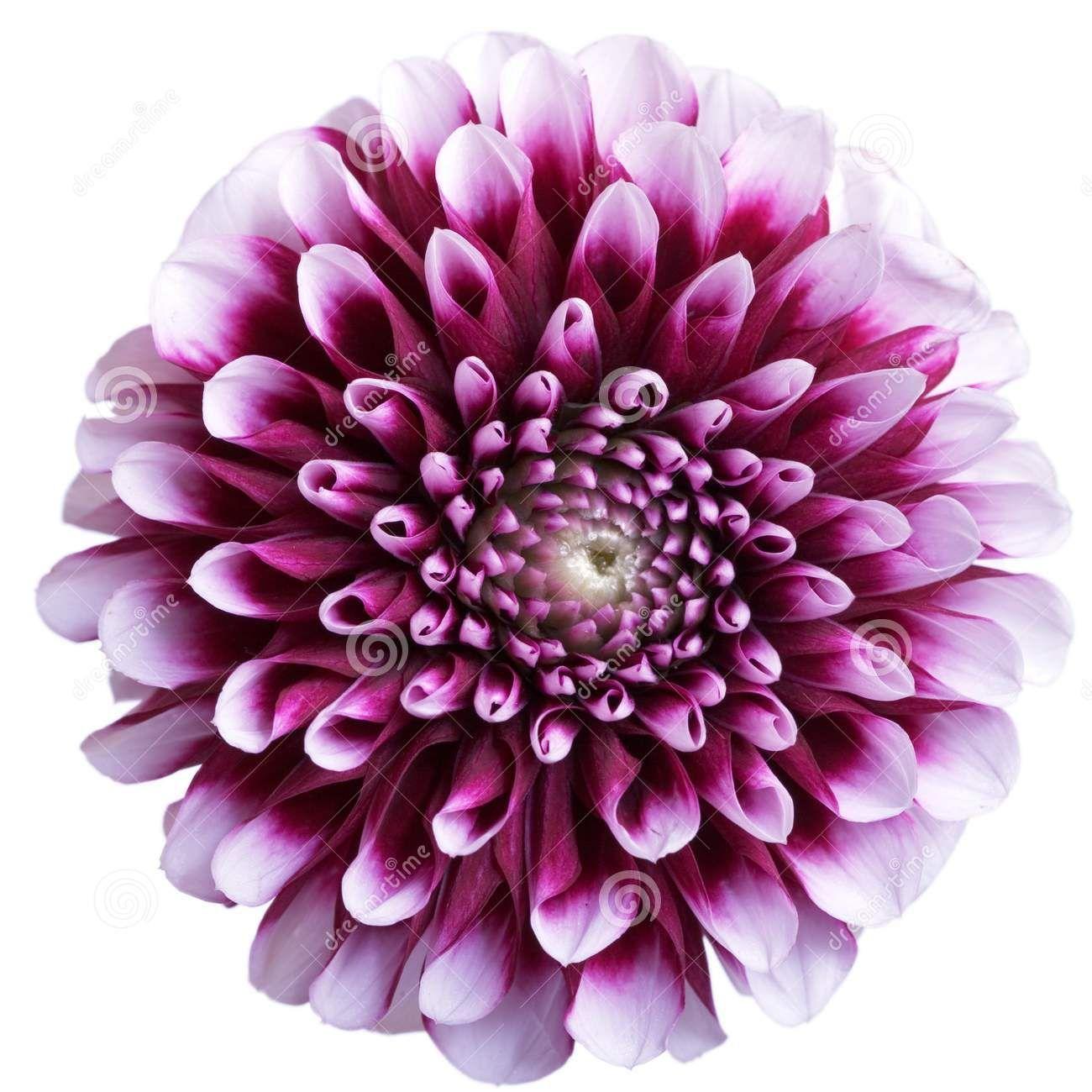 Aster Flower Purple Aster Flower On White September For Brandon