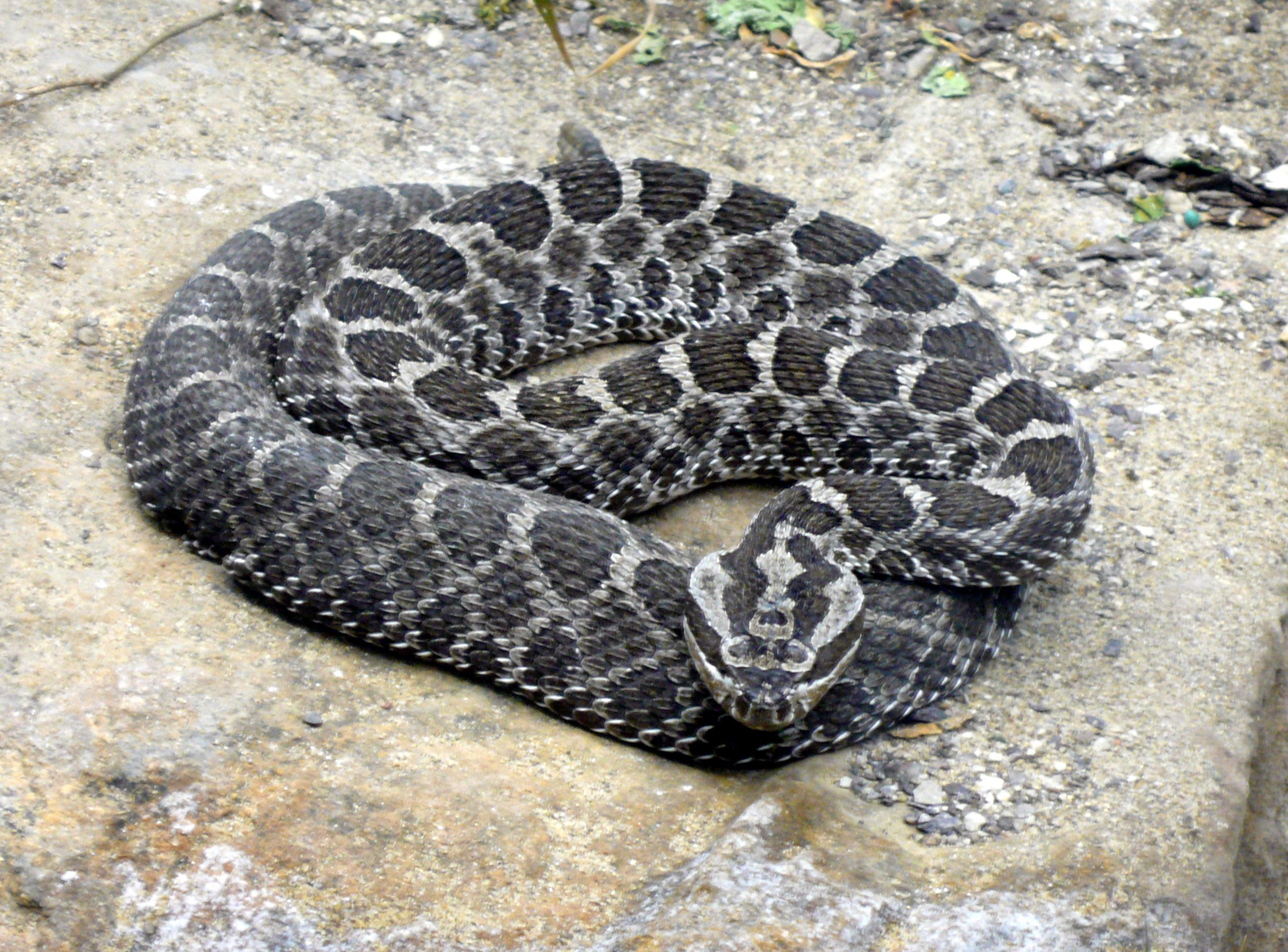 Pin By Mary Bates On Snakes And Such Poisonous Snakes Snake Rattlesnake