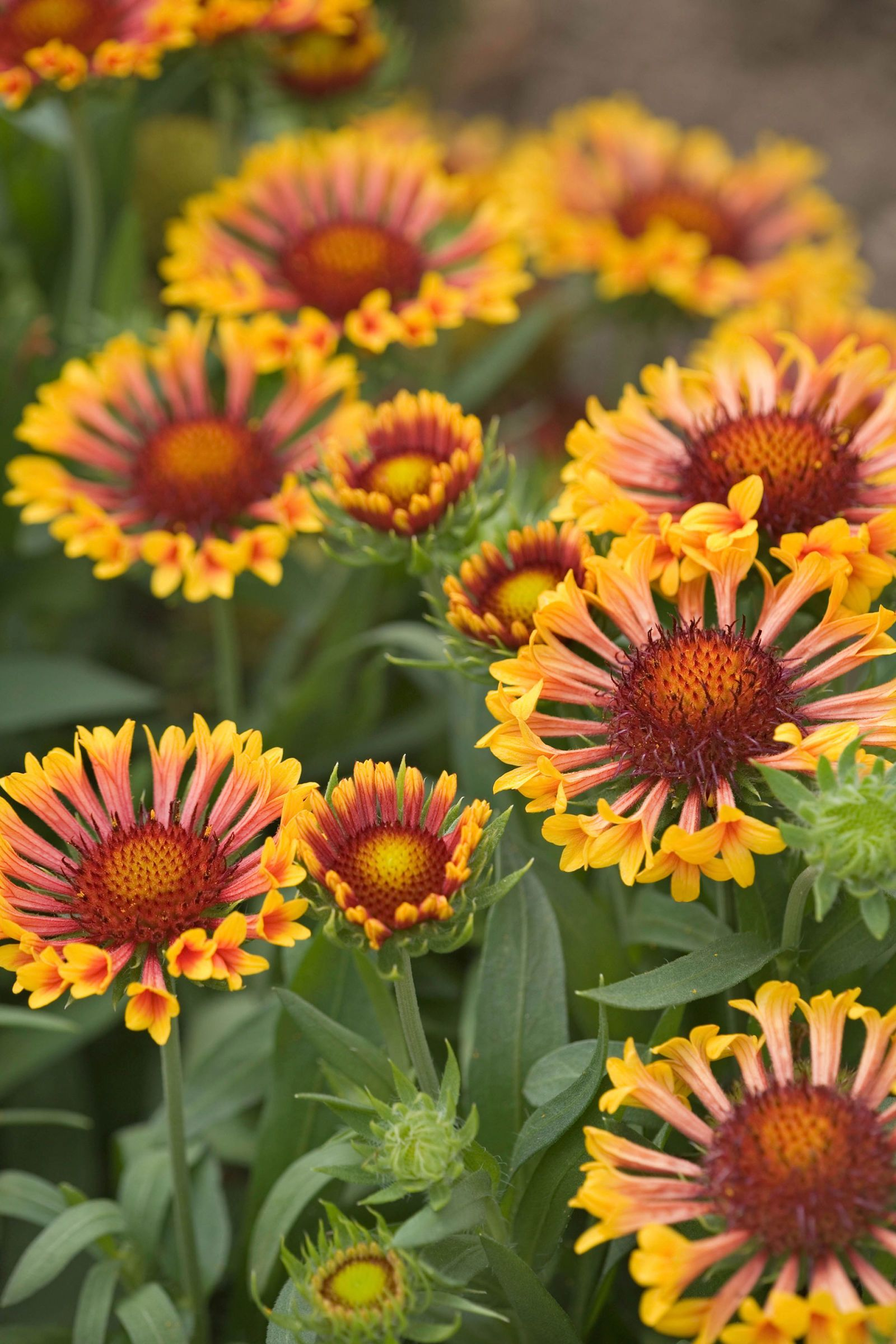 7 Perennials That Will Bloom Multiple Times This Summer Perennial Plants Flowers Perennials Perennials