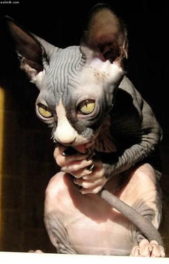 The Russian Donskoy Generally Has 4 Coats And They Each Differ In Colors The Different Coats Of Russian Donskoy Cats I Scary Cat Funny Cat Photos Hairless Cat