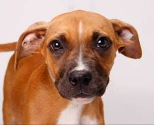 Adopt bonnie on (With images) Boxer dogs, Boxer puppy