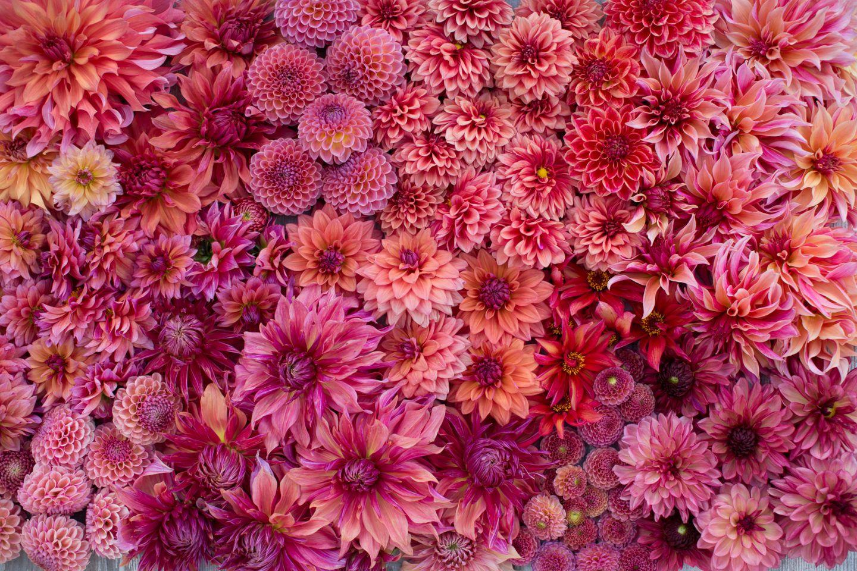 Dahlia Color Palettes Floret Flowers Dahlia Sonic Bloom Flower Farm