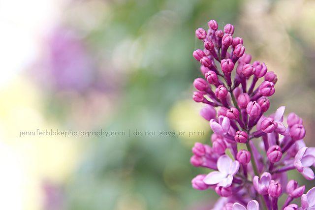 Lilac, via Flickr.    www.jenniferblakephotography.com