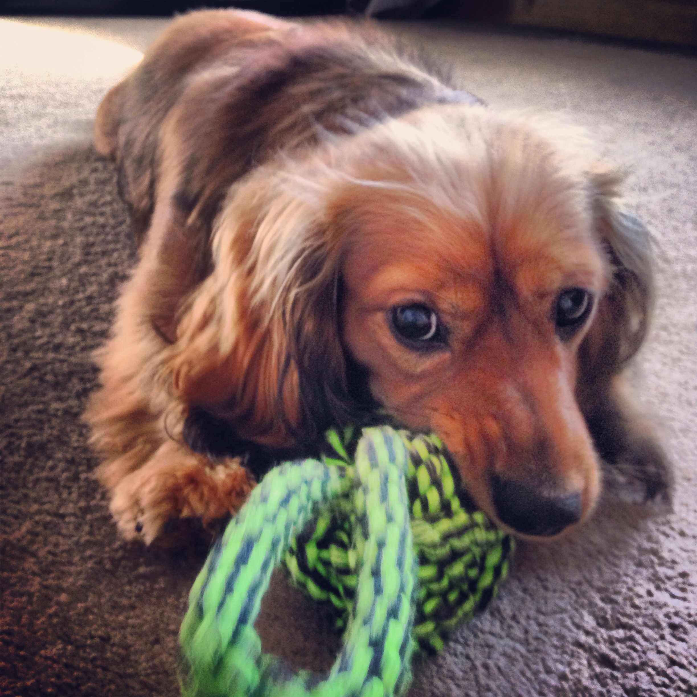 Cross Between A Dachshund And A King Charles Cavalier Cavalier